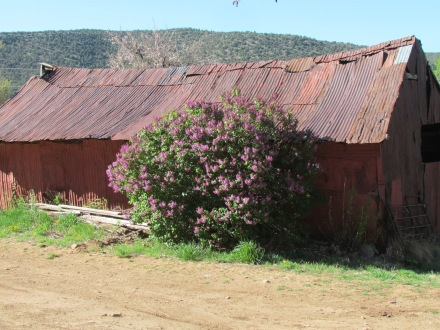 Old shed with lilac bush
