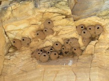 Cliff Swallow nests, awaiting the return of their occupants