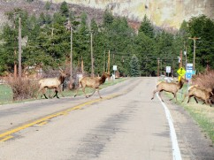 Elk crossing the highway