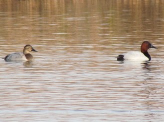 Canvasback, male on the right, female on the left