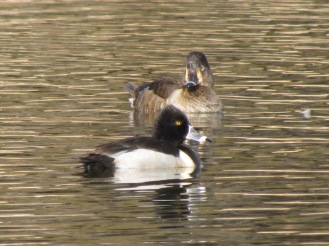 Ring-necked Duck, male in the front, female in the back