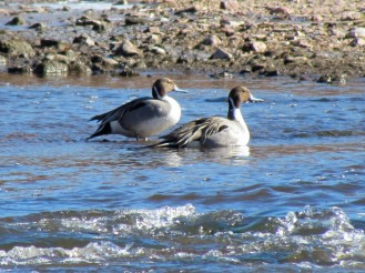 Northern Pintail, two males