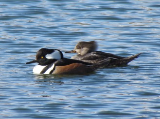 Hooded Merganser, male on the left, female on the right