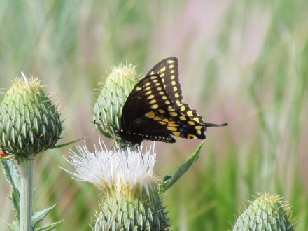 Creamy Thistle with Swallowtail visitor/Distel mit Schwalbenschwanzbesucher