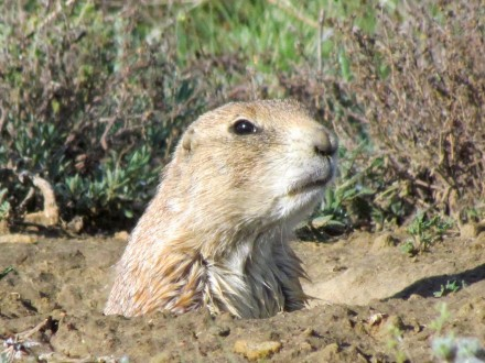 Prairie Dog/Präriehund