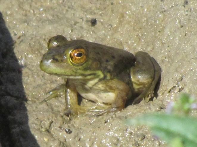 Bullfrog/Ochsenfrosch