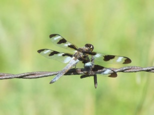 Twelve-spotted Skimmer/Zwölfpunktsegellibelle