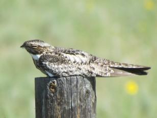 Common Nighthawk/Nachtfalke