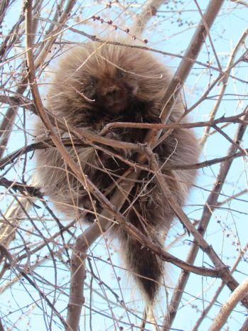 Porcupine/Stachelschwein
