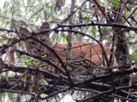 Bobcat/Rotluchs