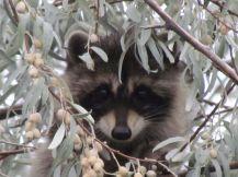 Raccoon/Waschbär
