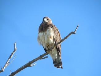 Swainson's Hawk/Präriebussard