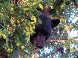 Black Bear/Schwarzbär