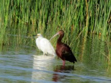 Snowy Egret on the left, White-faced Ibis on the right/Schmuckreiher links, Brillensichler rechts