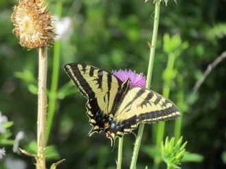 Western Tiger Swallowtail/Westlicher Tigerschwalbenschwanz