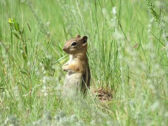 Golden-mantled Ground Squirrel/Goldmantelziesel
