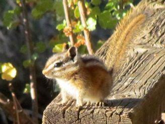 Chipmunk/Streifenhörnchen