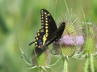 Black Swallowtail/Schwarzer Schwalbenschwanz