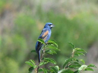 Blue Grosbeak/Azurbischof