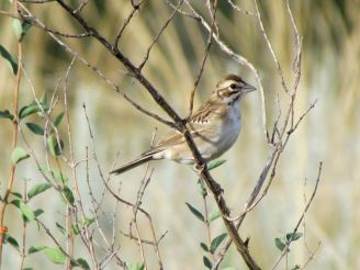 Lark Sparrow (one of my favorite sparrows)/Rainammer