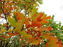 Scrub Oak/Eichengebüsch