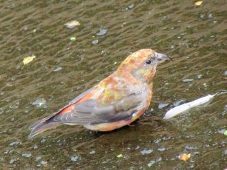 Red Crossbill/Fichtenkreuzschnabel