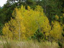 Aspen trees/Espenbaüme