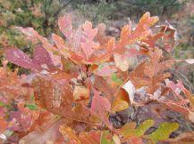Rare dew on Scrub Oak/Seltene Tautropfen auf Eichengebüsch