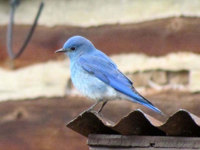 Mountain Bluebird, a harbinger of spring