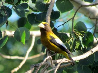 Evening Grosbeak/Abendkernbeißer