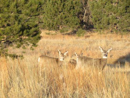 Mule deer family/Großohrhirschfamilie