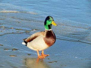 Last but not least, the always fabulous Mallard/Stockente (wie immer atemberaubend)