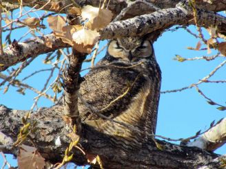 Great Horned Owl/Virginia-Uhu