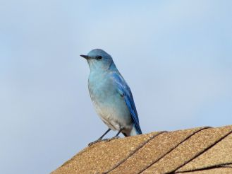 Mountain Bluebird/Berghüttensinger