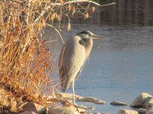 Great Blue Heron/Amerikanischer Graureiher