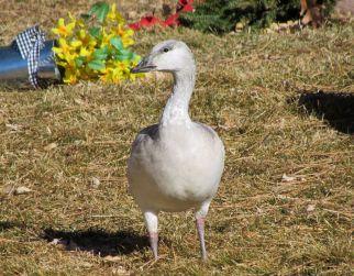 Snow Goose (juvenile)/Schneegans (juvenil)