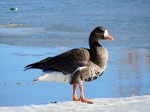 Greater White-fronted Goose/Blässgans