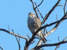 Prairie Falcon/Präriefalke