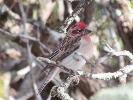 Cassin's Finch/Cassingimpel