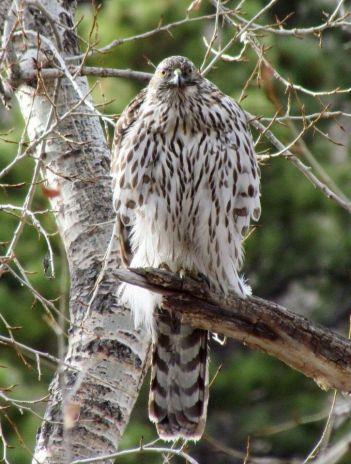 Northern Goshawk (juvenile)/Habicht (juvenil)