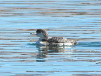 Common Loon (in nonbreeding plumage)/Eistaucher (im Schlichtkleid)