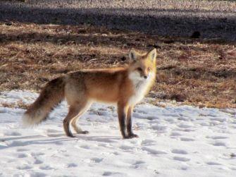 Red Fox/Rotfuchs