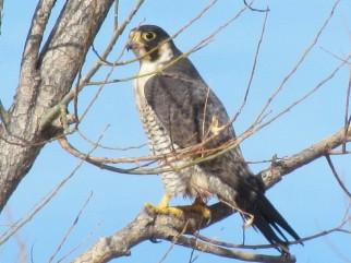 Peregrine Falcon/Wanderfalke