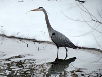 Great Blue Heron/Kanadareiher