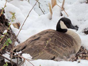 Canada Goose on nest/Kanadagans auf einem Nest