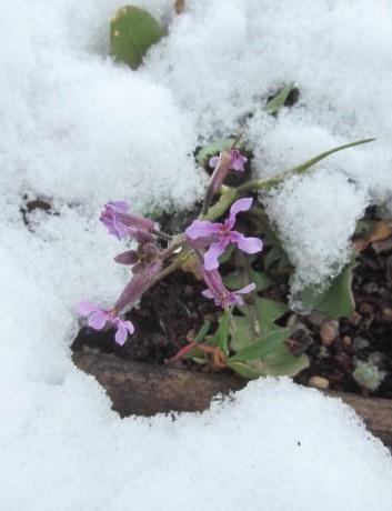 Snowflower/Schneeblume