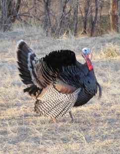 Wild Turkey/Wilder Truthhahn