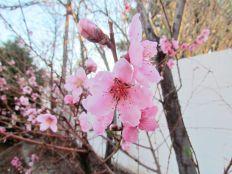 First spring blossoms/Frühlingsblüten