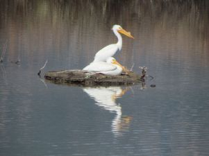 American White Pelican/Nashornpelikan