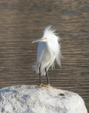 Snowy Egret/Schmuckreiher